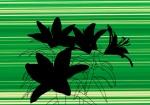 Lilies, shadows